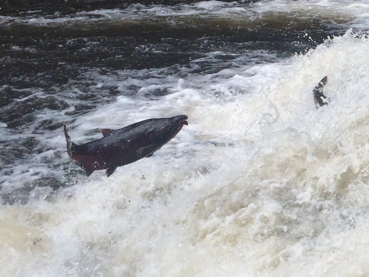 Chinook Salmon Jumping Upstream by Sam Beebe