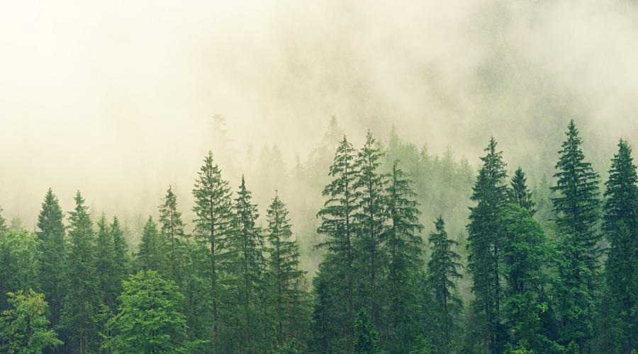 Evergreen forest with fog